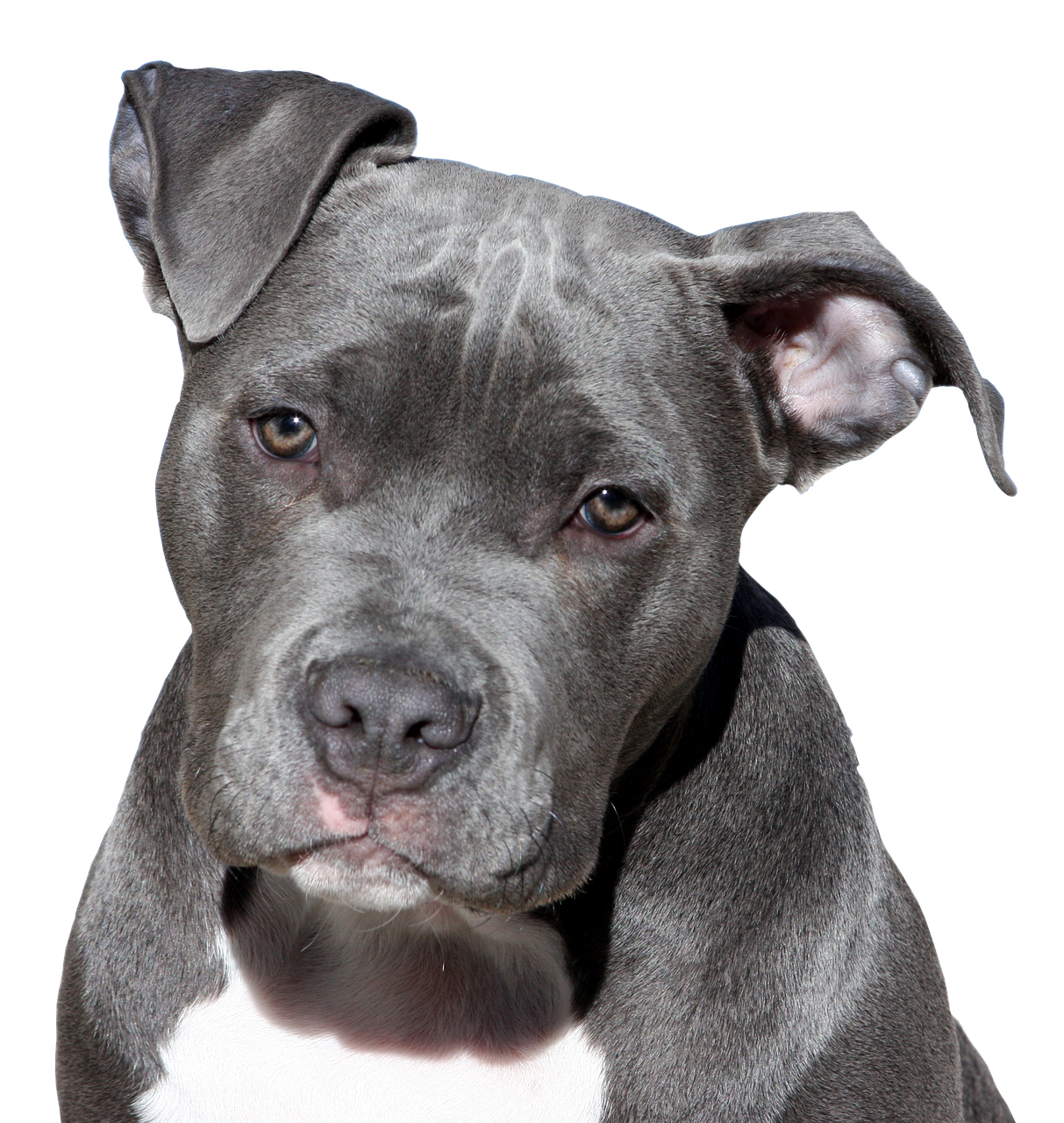 Kampfhund Terrier