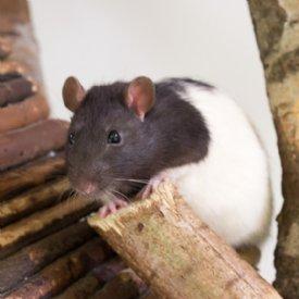 Ratten @ TiKo