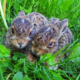 Junge Feldhasen © Natur und Wildtierstation Kärnten