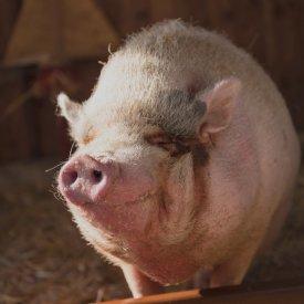 Schwein © TiKo