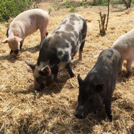 Artgerechte Umgebung für Schweine © TiKo