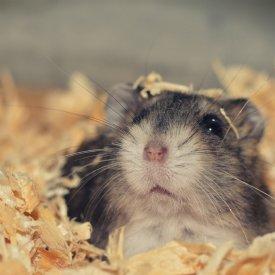 Hamster möchten graben und wühlen © TiKo