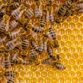 Honigbiene © TiKo