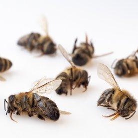 Bienensterben © TiKo
